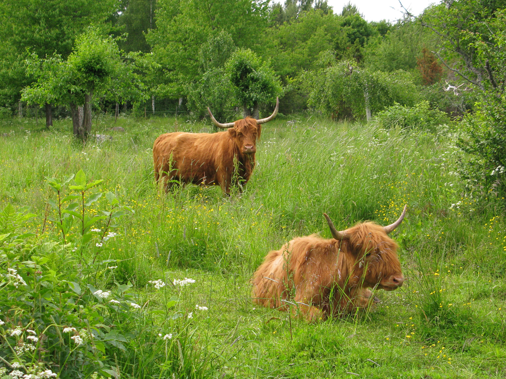 Rasen Highland Cattle